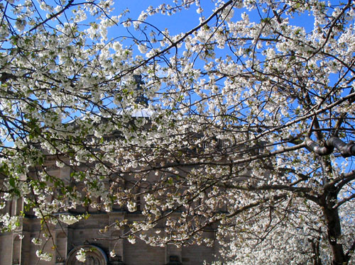 爱丁堡的樱花 Cherry Blossom, Bristol Square, Edinburgh