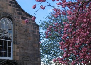 Royal Mile Canongate Kirk 前的樱花