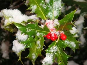 """这是圣诞节常用来装饰用的""""欧洲冬青""""(European Holly),红果绿叶。"""