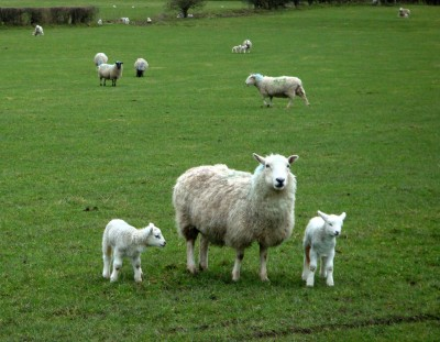 Nercwys 村子附近总是能看到许多羊