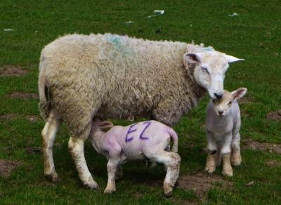春天来了,田里多了许多小羔羊