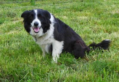 我的玩伴 Mary。Mary 是一只退役的抚养狗,住在附近的一户农场里,但是她经常跑到我们公司旁的停车场里,等待别人和她玩仍树枝的游戏。