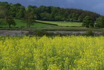 Snowdonia 地区的油菜花田