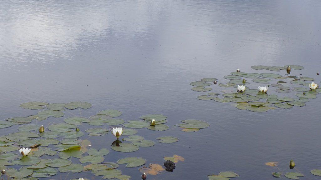 南尤伊斯特岛上的水塘里有许多白莲花。
