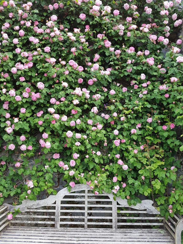 Constance Spry in Bodnant Garden