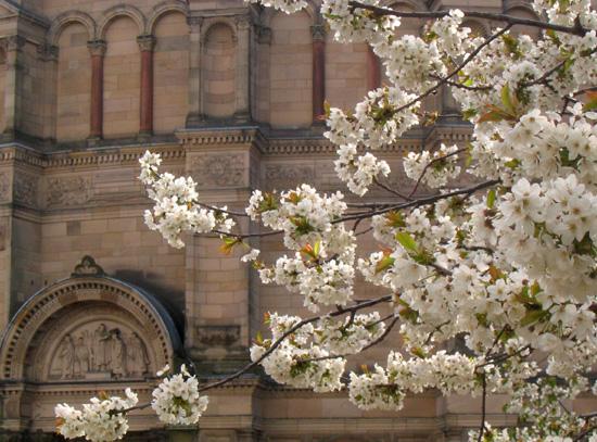 爱丁堡Bristol Square边的樱花
