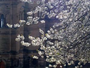 爱丁堡大学 McEwan Hall 前的樱花开了