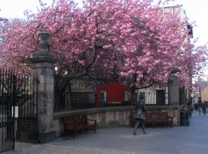 爱丁堡 Royal Mile 上的 Canongate Kirk 教堂前的樱花