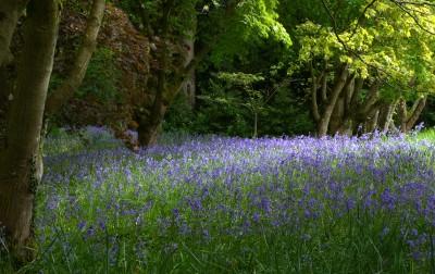 春天来了,树下铺满了铃兰花(blue bell),摄于 Bodnant Garden。