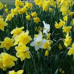 Daffodils, Lauriston Castle